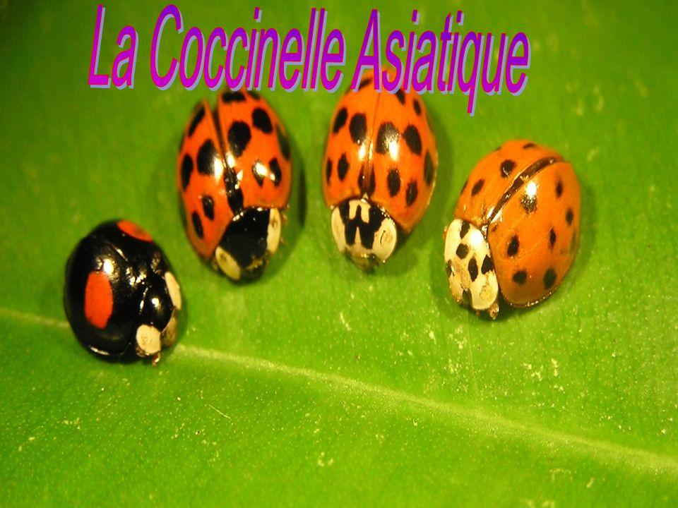 La coccinelle est un coléoptère et elle a une métamorphose complète.La plupart d entre elles ont une forme, une taille et un patron de coloration différents qui permettent de les identifier.