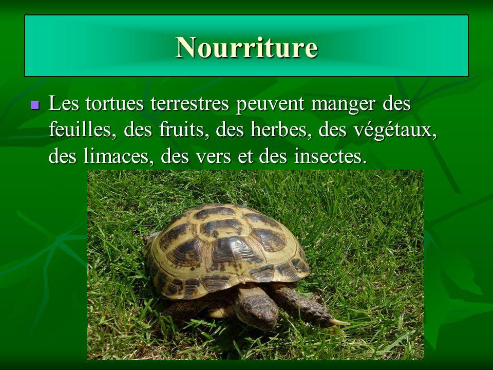 Nourriture Les tortues terrestres peuvent manger des feuilles, des fruits, des herbes, des végétaux, des limaces, des vers et des insectes. Les tortue