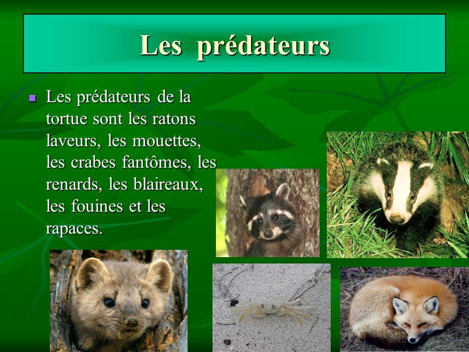 Les prédateurs Les prédateurs de la tortue sont les ratons laveurs, les mouettes, les crabes fantômes, les renards, les blaireaux, les fouines et les
