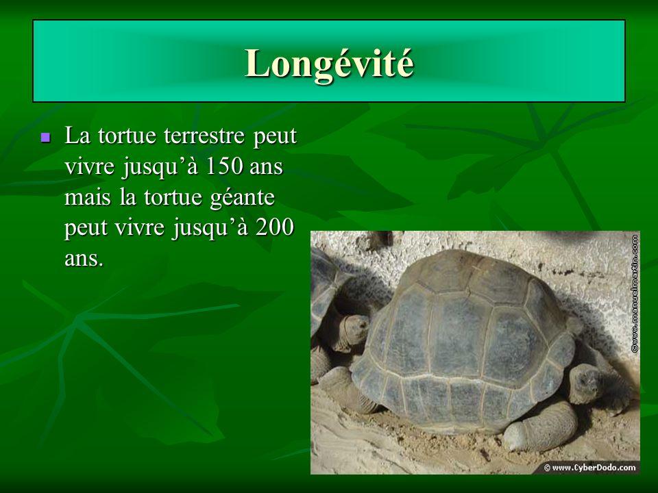 Longévité La tortue terrestre peut vivre jusquà 150 ans mais la tortue géante peut vivre jusquà 200 ans. La tortue terrestre peut vivre jusquà 150 ans