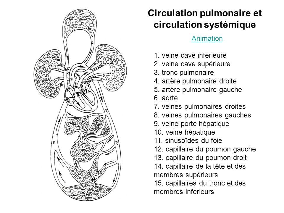 Circulation pulmonaire et circulation systémique Animation 1. veine cave inférieure 2. veine cave supérieure 3. tronc pulmonaire 4. artère pulmonaire