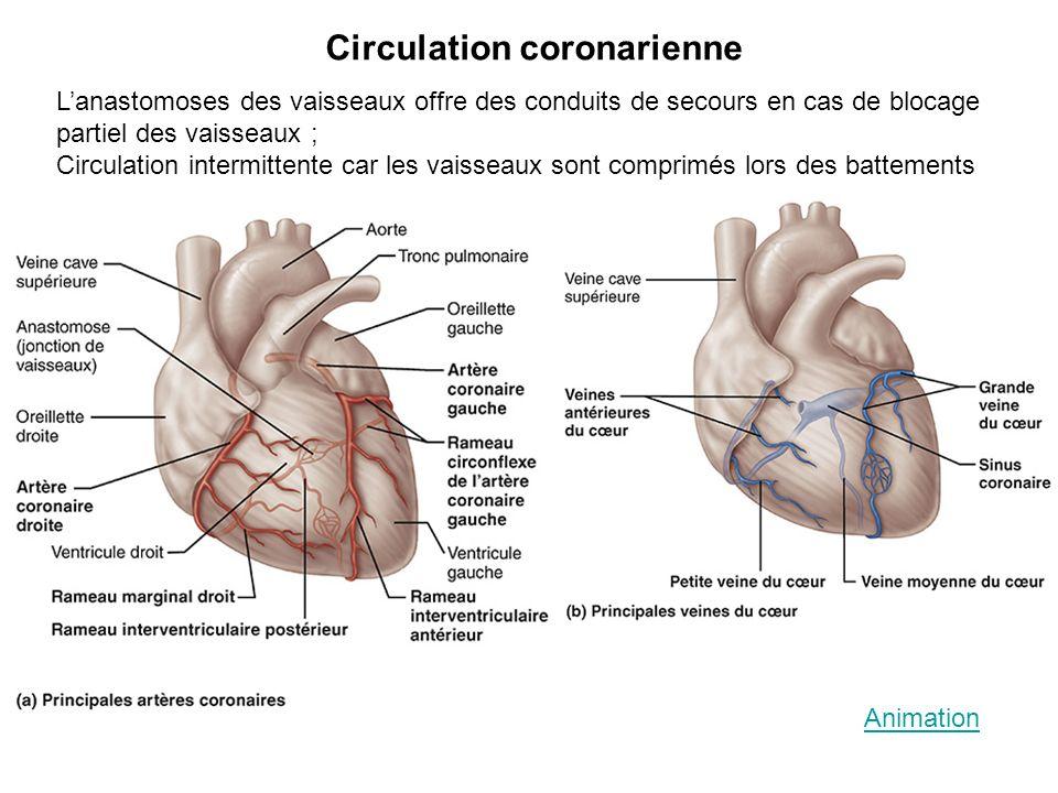 Circulation coronarienne Lanastomoses des vaisseaux offre des conduits de secours en cas de blocage partiel des vaisseaux ; Circulation intermittente