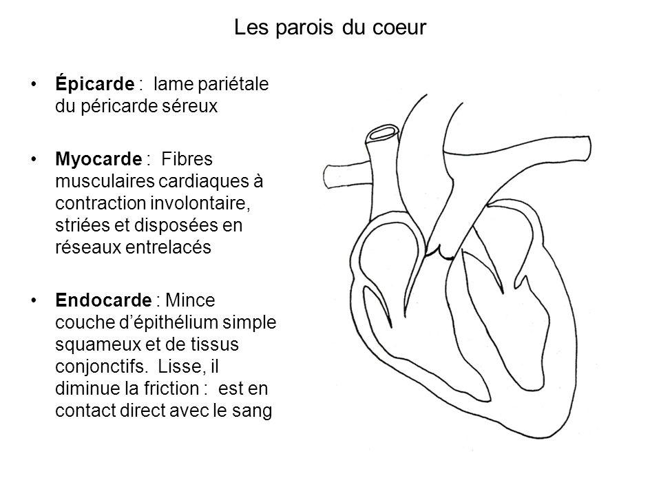 Les parois du coeur Épicarde : lame pariétale du péricarde séreux Myocarde : Fibres musculaires cardiaques à contraction involontaire, striées et disp