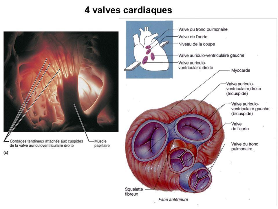 4 valves cardiaques
