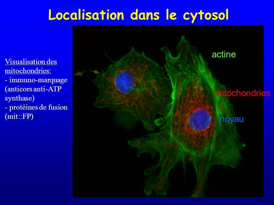 Localisation dans le cytosol actine mitochondries noyau Visualisation des mitochondries: - immuno-marquage (anticors anti-ATP synthase) - protéines de