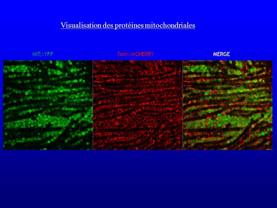 Tom::MCHERRYMERGEMIT::YFP Visualisation des protéines mitochondriales