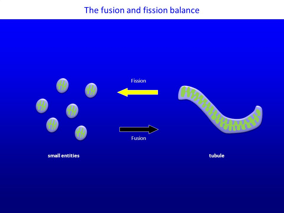 The fusion and fission balance Fission Fusion small entitiestubule