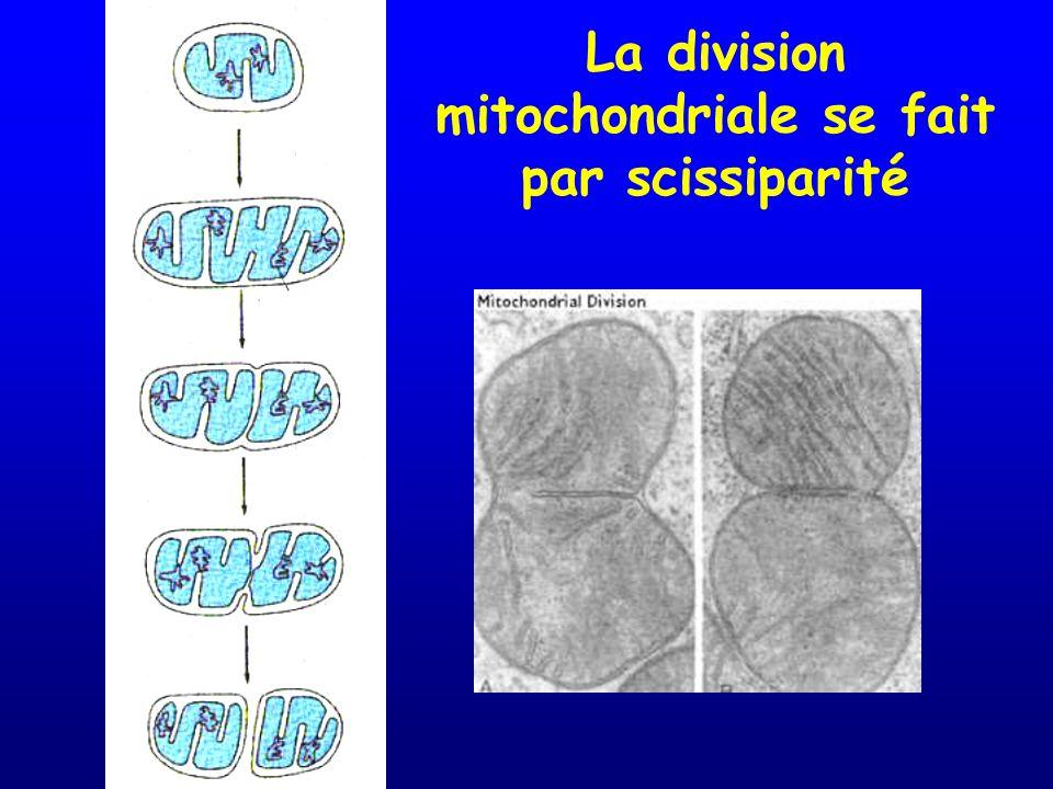 La division mitochondriale se fait par scissiparité