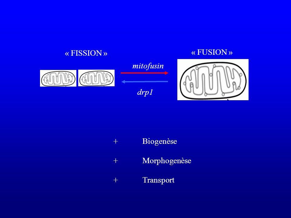 « FUSION » « FISSION » drp1 mitofusin +Biogenèse +Morphogenèse + Transport