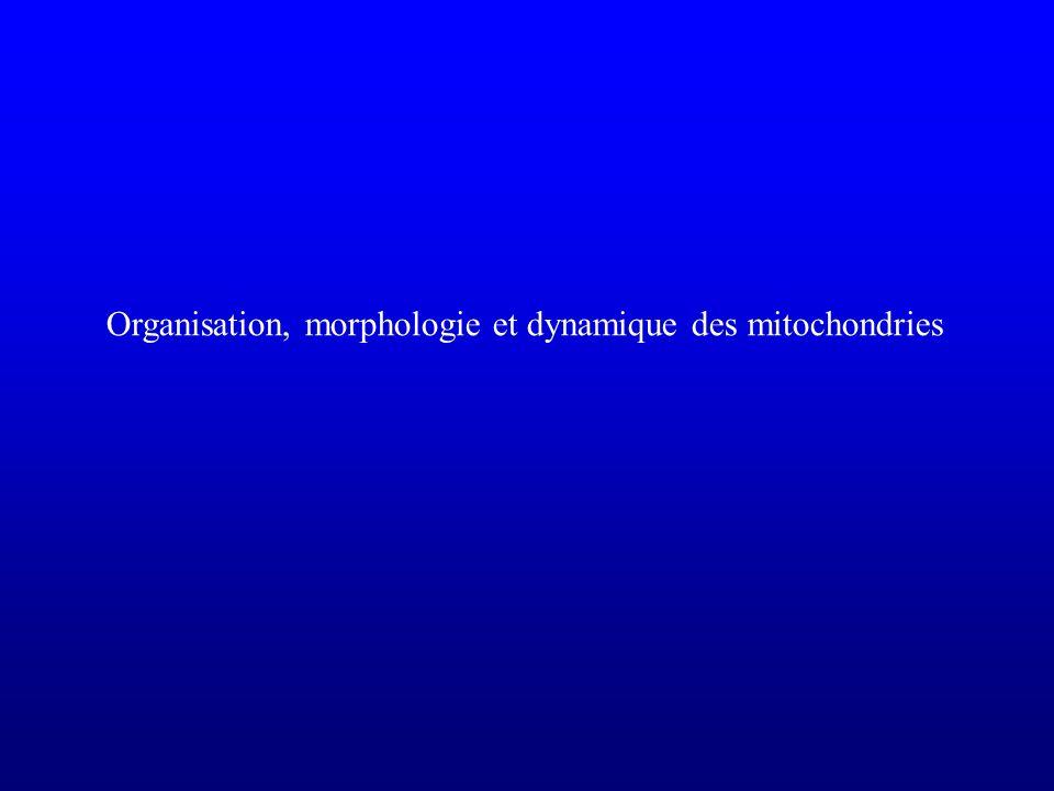 Organisation, morphologie et dynamique des mitochondries