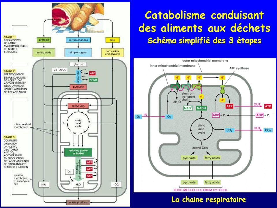 Catabolisme conduisant des aliments aux déchets Schéma simplifié des 3 étapes La chaine respiratoire