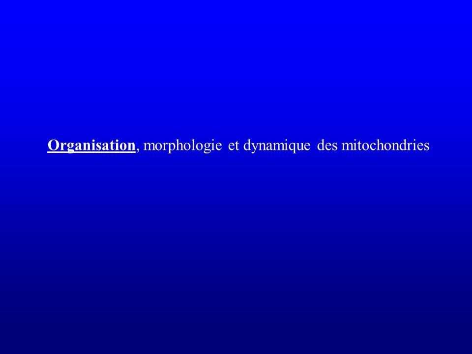 mit::GFP Les mitochondries des organelles très dynamiques