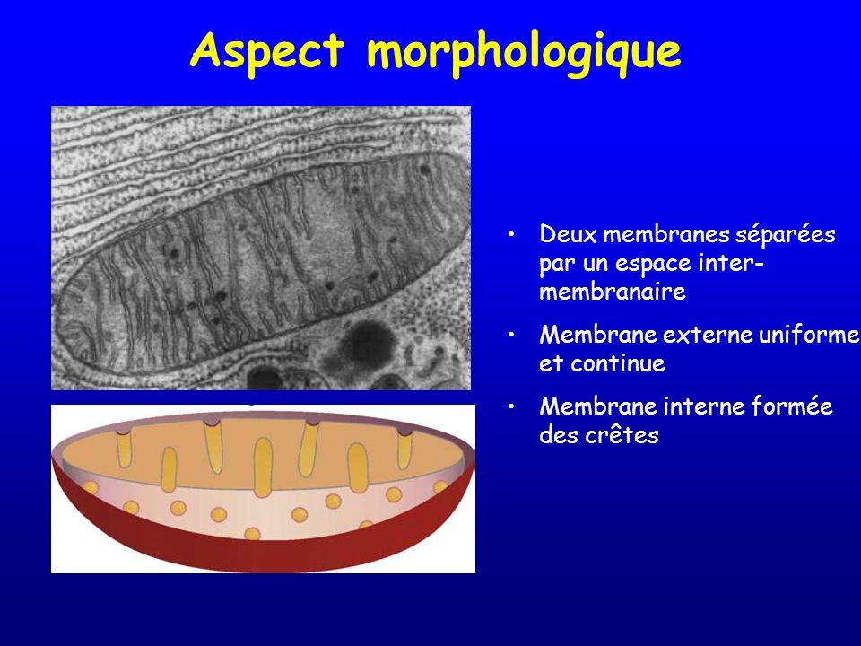 Aspect morphologique Deux membranes séparées par un espace inter- membranaire Membrane externe uniforme et continue Membrane interne formée des crêtes