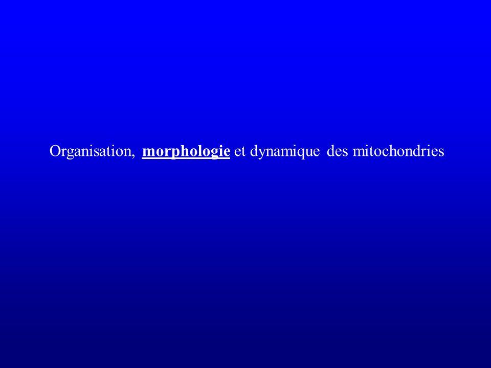 Aspect morphologique en microscopie optique Dans le cytoplasme Globulaires: 0,5 à 1µm de diamètre Filamenteux: jusquà 10µm de long Nombre variable selon type cellulaire (et besoins énergétiques)