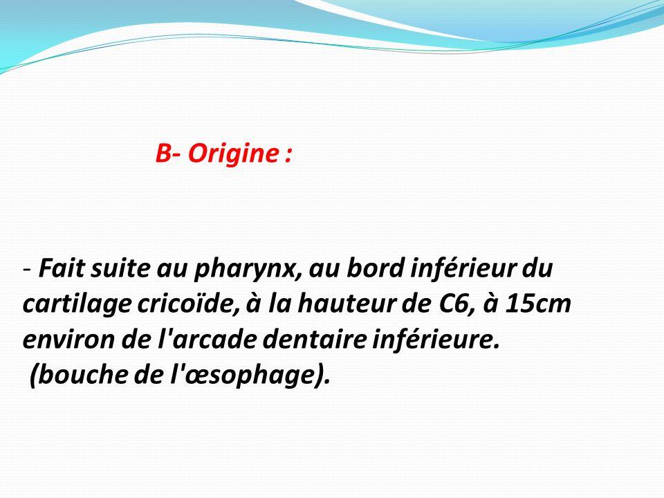 B- Origine : - Fait suite au pharynx, au bord inférieur du cartilage cricoïde, à la hauteur de C6, à 15cm environ de l'arcade dentaire inférieure. (bo
