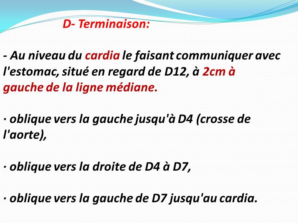 D- Terminaison: - Au niveau du cardia le faisant communiquer avec l'estomac, situé en regard de D12, à 2cm à gauche de la ligne médiane. · oblique ver