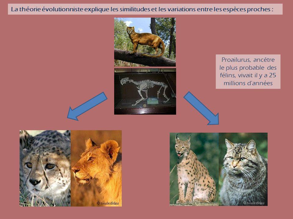 La théorie évolutionniste explique les similitudes et les variations entre les espèces proches : Proailurus, ancêtre le plus probable des félins, viva