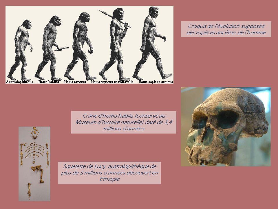 Crâne dhomo habilis (conservé au Museum dhistoire naturelle) daté de 1,4 millions dannées Squelette de Lucy, australopithèque de plus de 3 millions da