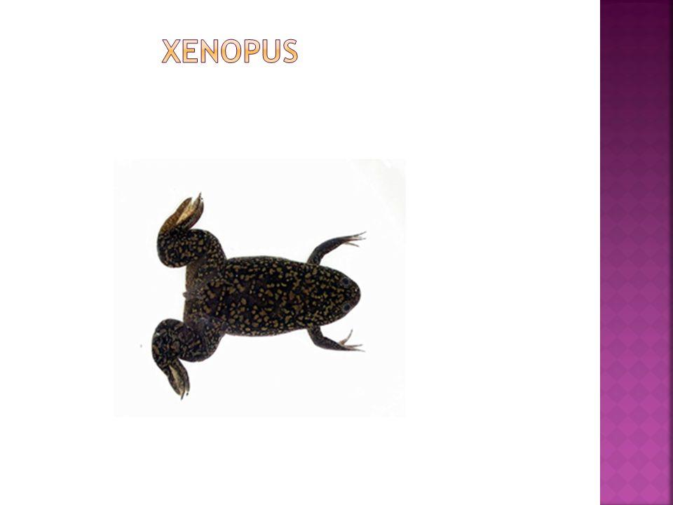 Le Xénope, le crapaud à griffe, originaire d Afrique du sud est un amphibien anoure.
