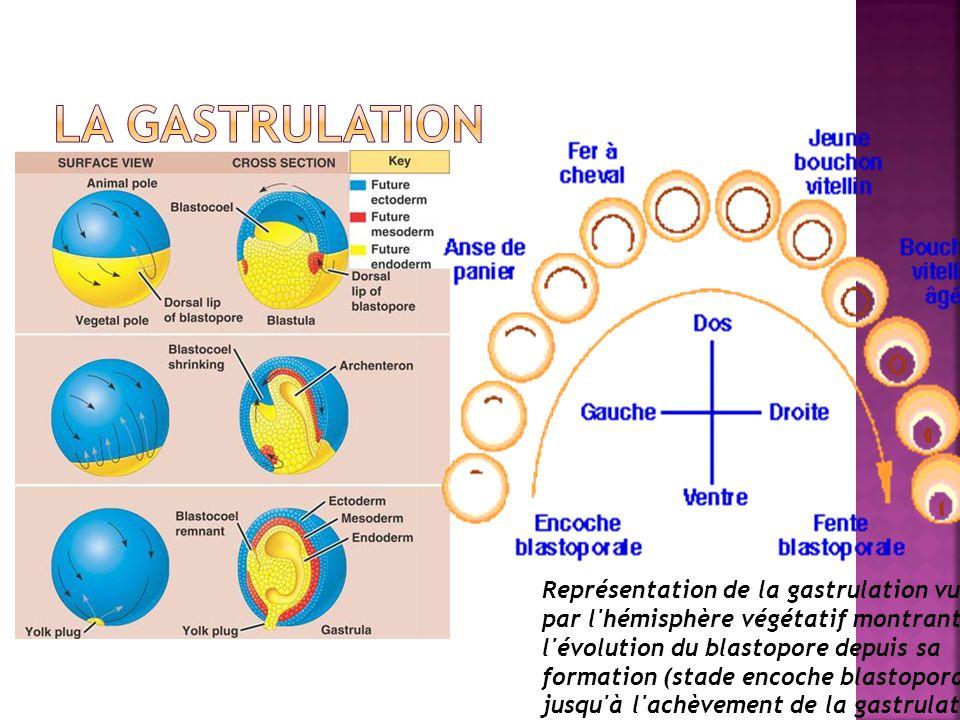Représentation de la gastrulation vue par l'hémisphère végétatif montrant l'évolution du blastopore depuis sa formation (stade encoche blastoporale) j