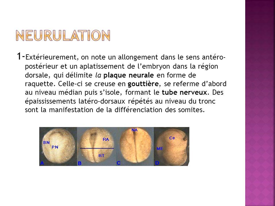 1- Extérieurement, on note un allongement dans le sens antéro- postérieur et un aplatissement de lembryon dans la région dorsale, qui délimite la plaq