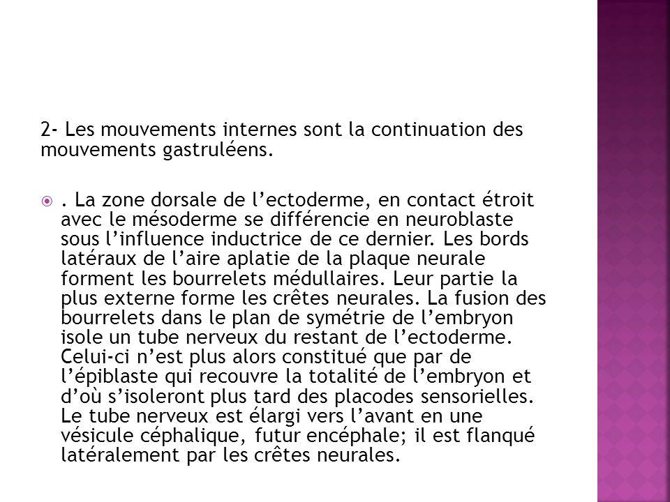 2- Les mouvements internes sont la continuation des mouvements gastruléens..