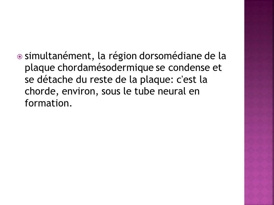 simultanément, la région dorsomédiane de la plaque chordamésodermique se condense et se détache du reste de la plaque: c est la chorde, environ, sous le tube neural en formation.