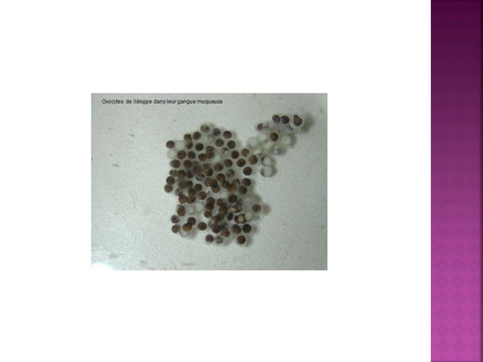 2.Epiblaste: Épiderme et phanères (poils, plumes, cornes, etc.).
