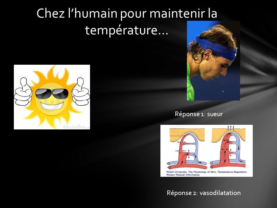Chez lhumain pour maintenir la température… Réponse 1: sueur Réponse 2: vasodilatation