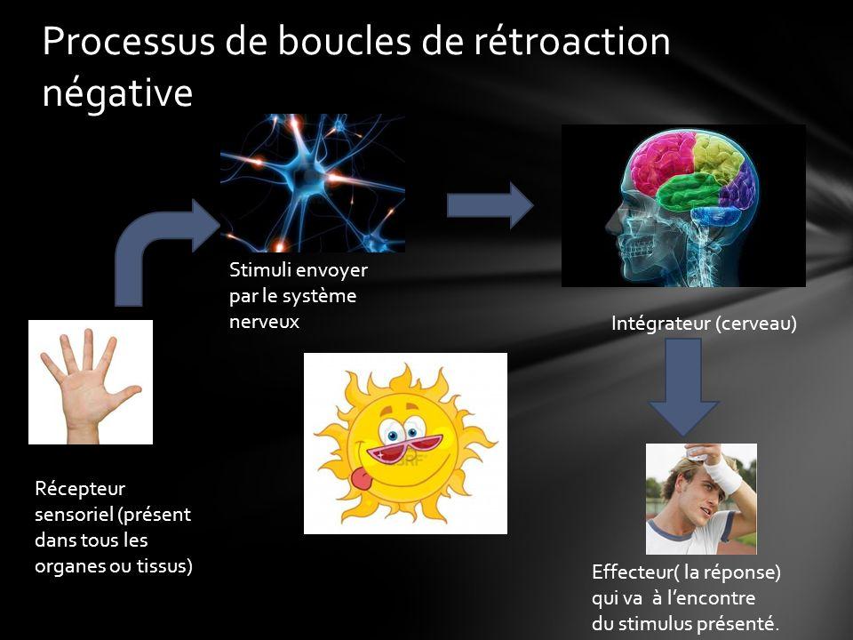 Processus de boucles de rétroaction négative Récepteur sensoriel (présent dans tous les organes ou tissus) Stimuli envoyer par le système nerveux Intégrateur (cerveau) Effecteur( la réponse) qui va à lencontre du stimulus présenté.