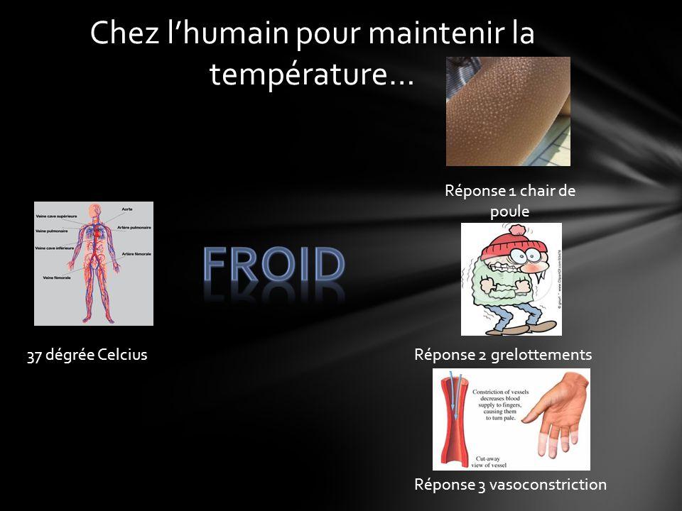 Chez lhumain pour maintenir la température… 37 dégrée Celcius Réponse 1 chair de poule Réponse 2 grelottements Réponse 3 vasoconstriction
