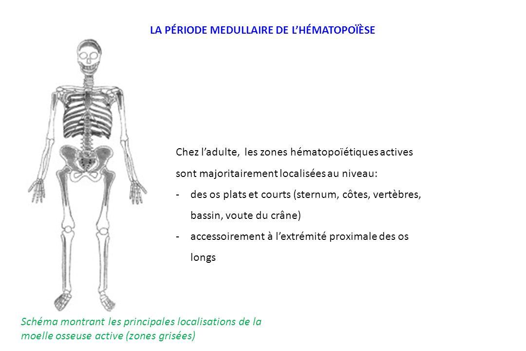 Schéma montrant les principales localisations de la moelle osseuse active (zones grisées) Chez ladulte, les zones hématopoïétiques actives sont majori