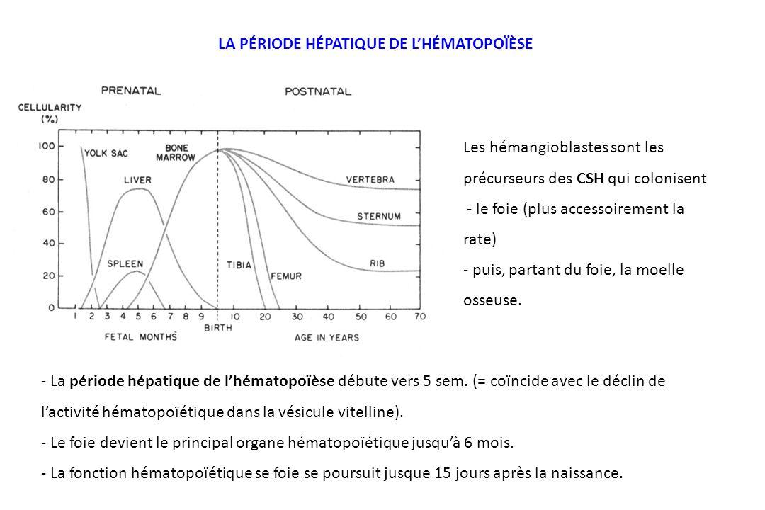 - La période hépatique de lhématopoïèse débute vers 5 sem. (= coïncide avec le déclin de lactivité hématopoïétique dans la vésicule vitelline). - Le f