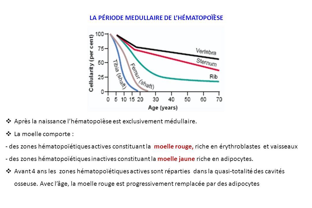 Après la naissance lhématopoïèse est exclusivement médullaire. La moelle comporte : - des zones hématopoïétiques actives constituant la moelle rouge,