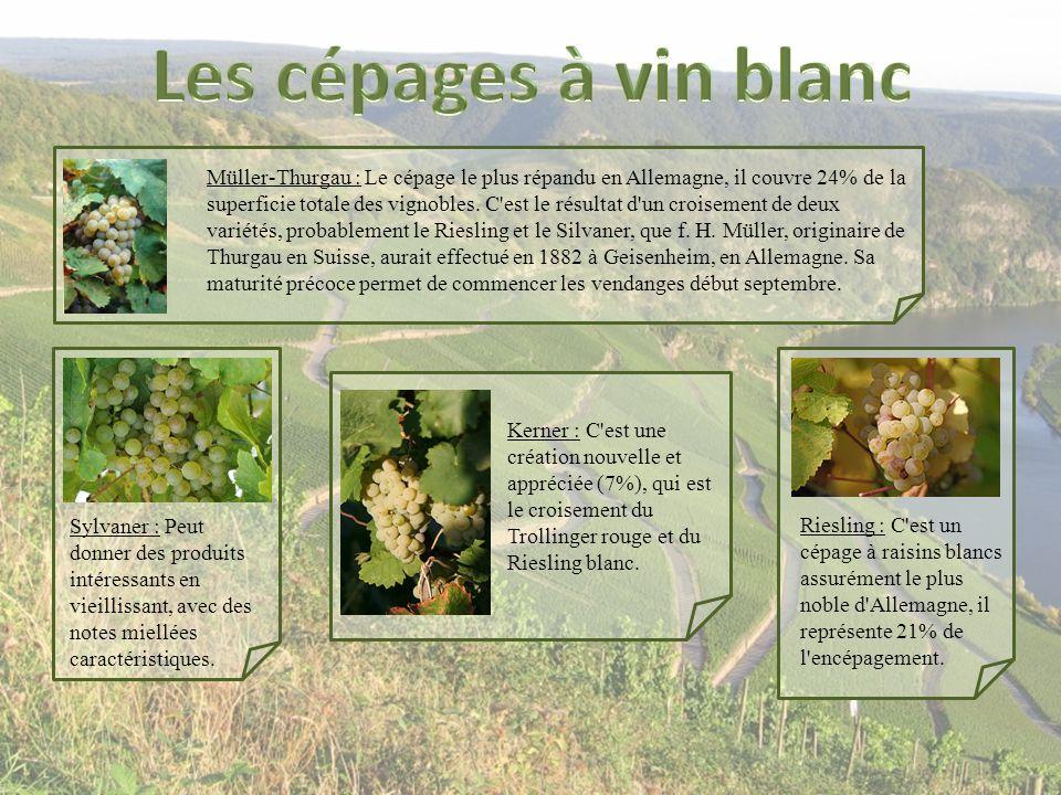 Müller-Thurgau : Le cépage le plus répandu en Allemagne, il couvre 24% de la superficie totale des vignobles. C'est le résultat d'un croisement de deu
