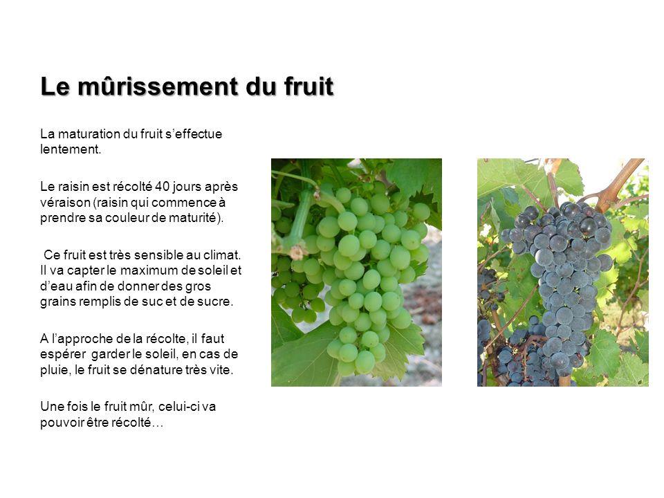 Le mûrissement du fruit La maturation du fruit seffectue lentement. Le raisin est récolté 40 jours après véraison (raisin qui commence à prendre sa co