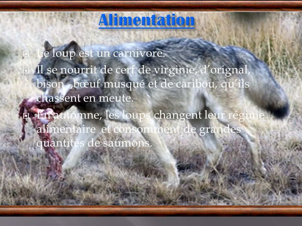 Le loup est un carnivore. Il se nourrit de cerf de virginie, dorignal, bison,bœuf musqué et de caribou, quils chassent en meute. En automne, les loups