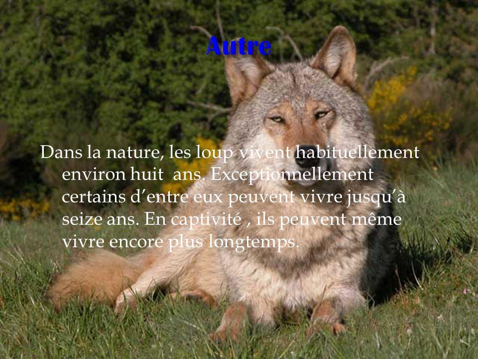 Dans la nature, les loup vivent habituellement environ huit ans. Exceptionnellement certains dentre eux peuvent vivre jusquà seize ans. En captivité,