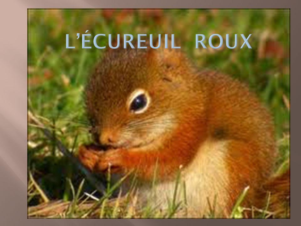 Lhabitat préféré de lécureuil roux est la forêt de confères, principalement composée dans des proportions variables de pins, de sapins,dépinettes, de cèdres, de mélèzes et de pruches.