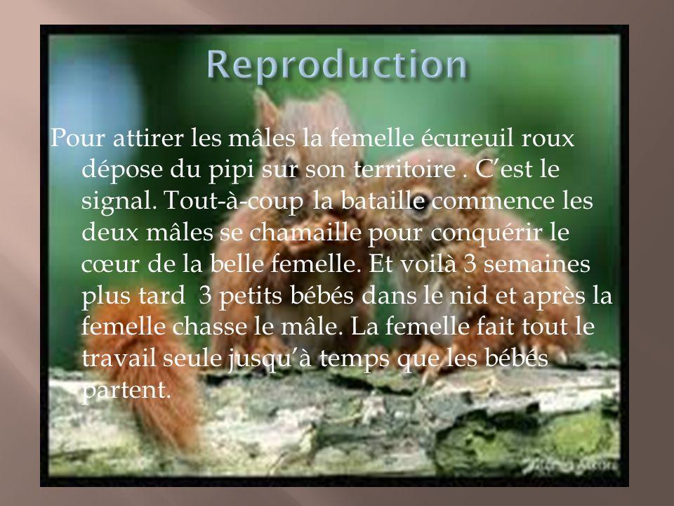 Pour attirer les mâles la femelle écureuil roux dépose du pipi sur son territoire. Cest le signal. Tout-à-coup la bataille commence les deux mâles se