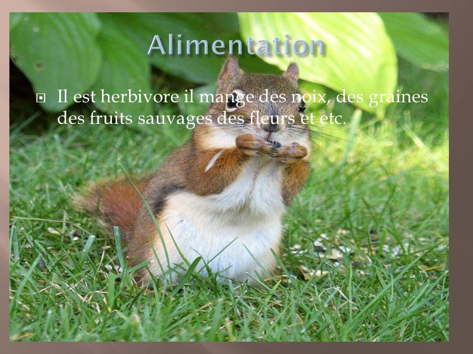 Il est herbivore il mange des noix, des graines des fruits sauvages des fleurs et etc.