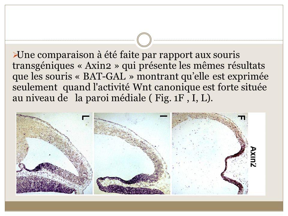 Une comparaison à été faite par rapport aux souris transgéniques « Axin2 » qui présente les mêmes résultats que les souris « BAT-GAL » montrant quelle
