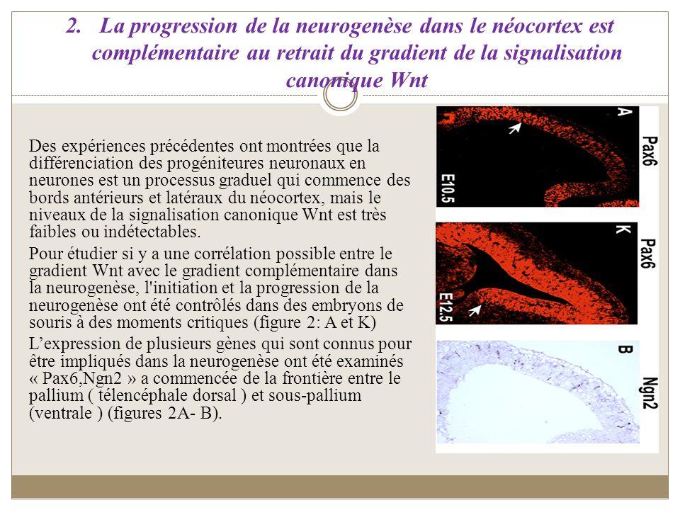 2.La progression de la neurogenèse dans le néocortex est complémentaire au retrait du gradient de la signalisation canonique Wnt Des expériences précé