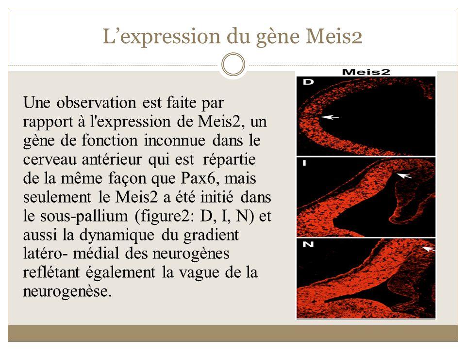 Lexpression du gène Meis2 Une observation est faite par rapport à l'expression de Meis2, un gène de fonction inconnue dans le cerveau antérieur qui es