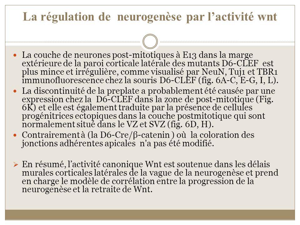 La régulation de neurogenèse par lactivité wnt La couche de neurones post-mitotiques à E13 dans la marge extérieure de la paroi corticale latérale des