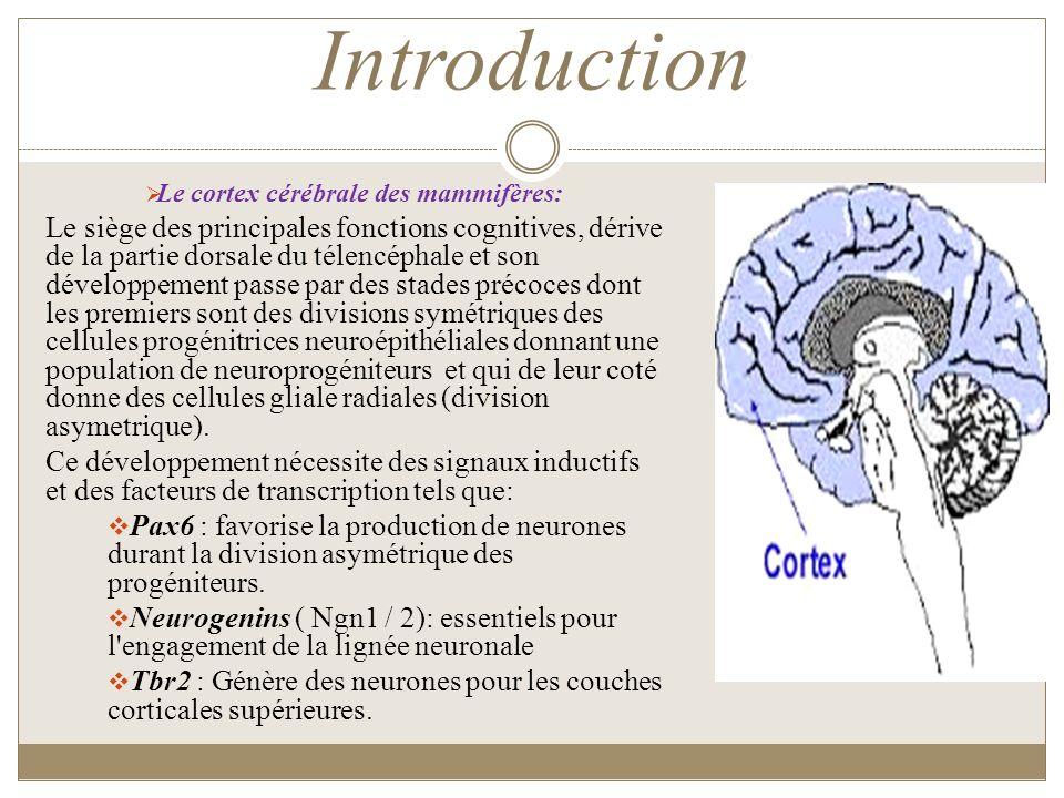 Introduction Le cortex cérébrale des mammifères: Le siège des principales fonctions cognitives, dérive de la partie dorsale du télencéphale et son dév