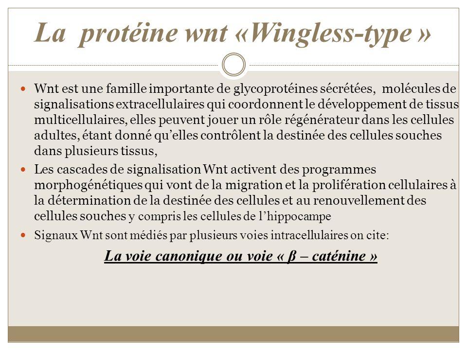 La protéine wnt «Wingless-type » Wnt est une famille importante de glycoprotéines sécrétées, molécules de signalisations extracellulaires qui coordonn