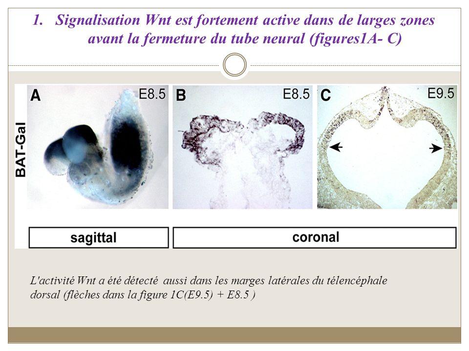 1.Signalisation Wnt est fortement active dans de larges zones avant la fermeture du tube neural (figures1A- C) L'activité Wnt a été détecté aussi dans