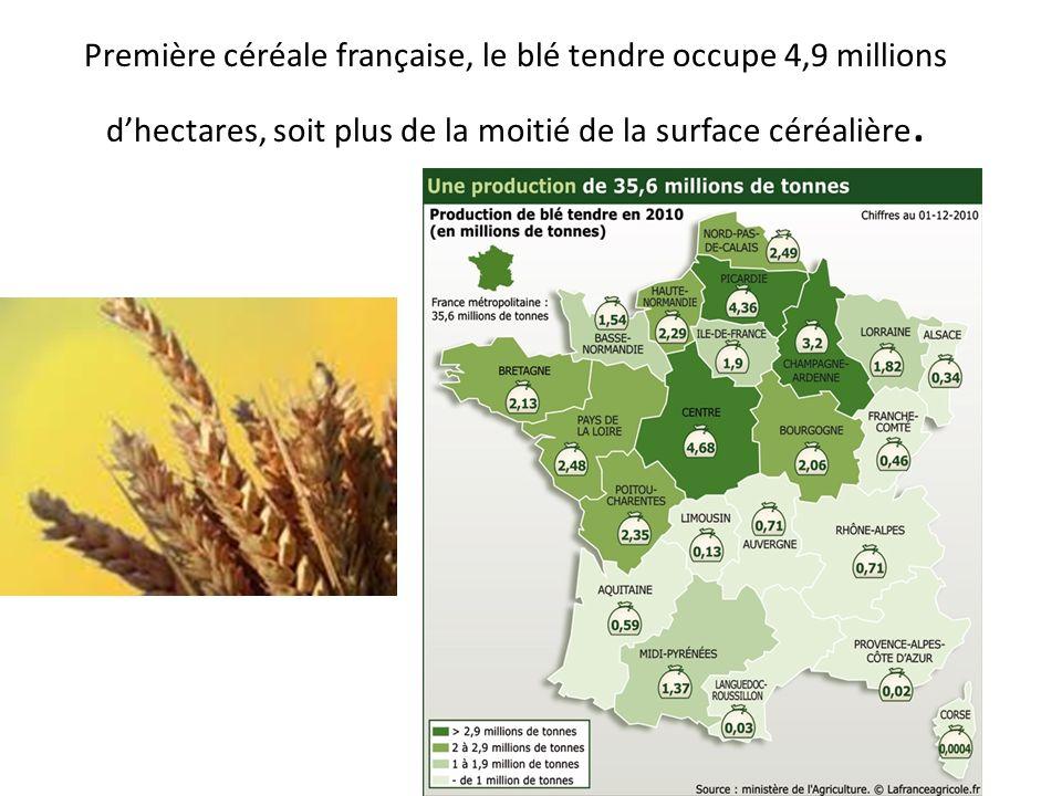 Première céréale française, le blé tendre occupe 4,9 millions dhectares, soit plus de la moitié de la surface céréalière.