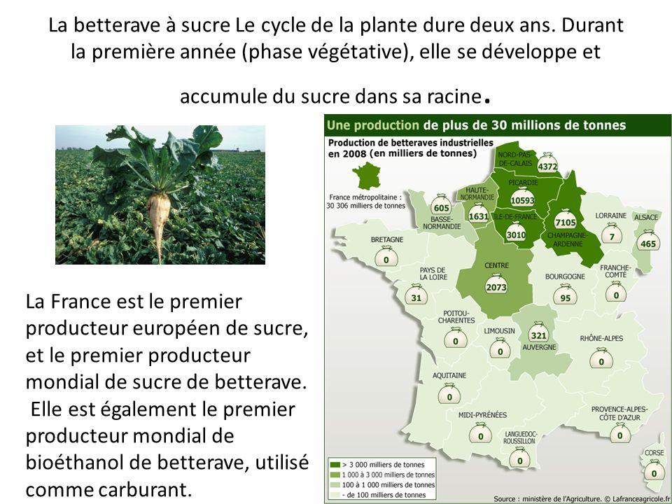La betterave à sucre Le cycle de la plante dure deux ans. Durant la première année (phase végétative), elle se développe et accumule du sucre dans sa